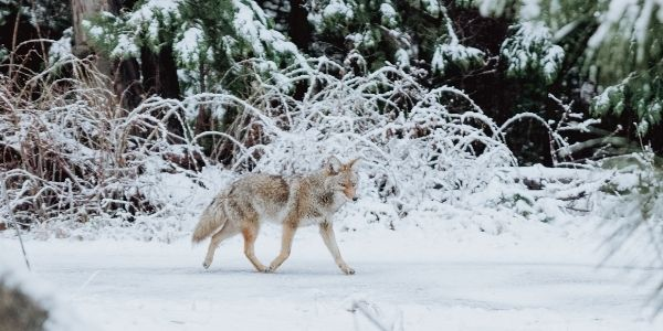 How a Lost Coyote Helped Me Find My Way